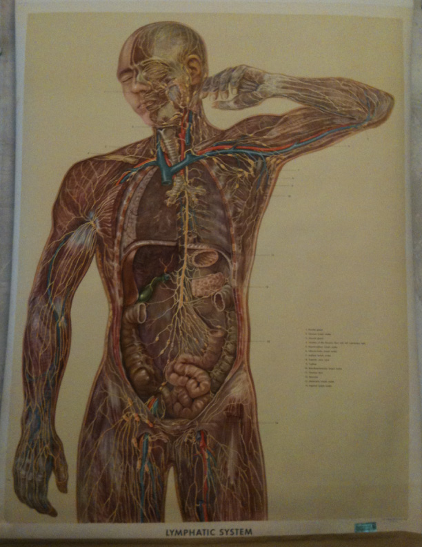 SCHOOL SCIENCE 1950'S ILLUSTRATION VINTAGE HUMAN BODY